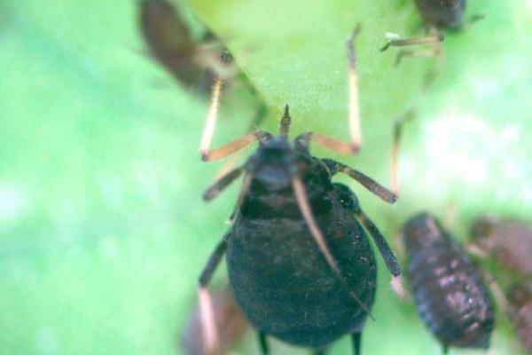 aphids feeding